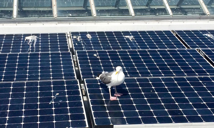 vệ sinh pin mặt trời do chim chốc